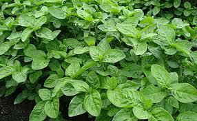 あおもり藍とは?インフル抗菌・糖尿病予防・無農薬で体に優しい!